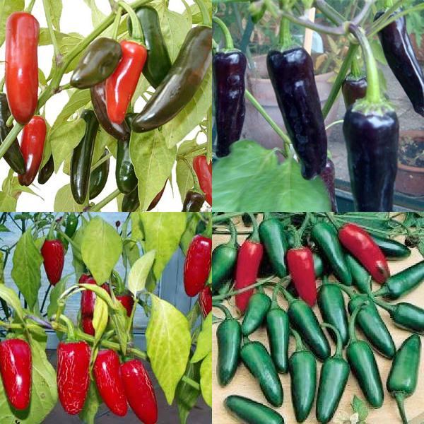 PÁLIVÉ CHILLI PAPRIČKY JALAPEŇO /EARLY ,TAM ,PURPLE / 3X 10 SEMEN
