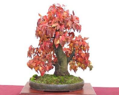 Japonský javor bonsai