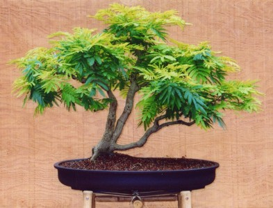 ACACIA DEALBATA - SUPER KVĚTY,BONSAI RARITA /20 SEMEN/
